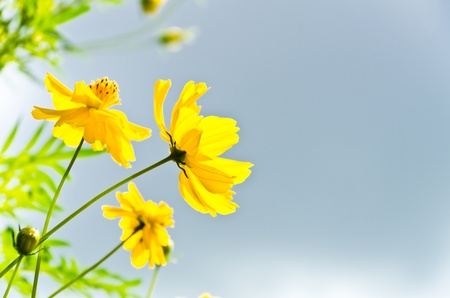 Yellow cosmos flowers with blue sky photo