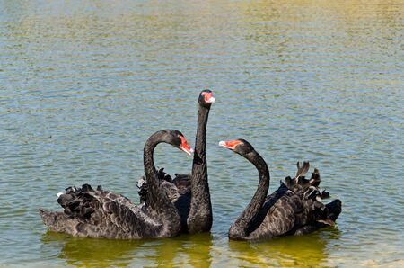 Black Swans on lake Stock Photo - 12924725