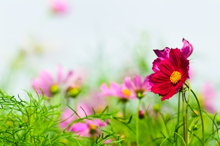 Red beautiful cosmos flower with white background photo