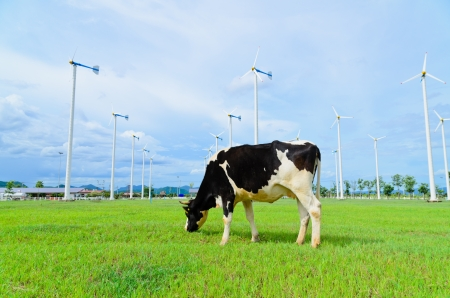 Cow eating grass in the farm with windmill 版權商用圖片