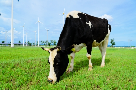 Cow eating grass in the farm with windmill Stock Photo