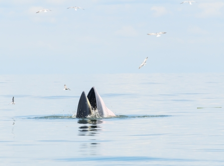 Bryde s Whale eating small fish in Thai Ocean photo