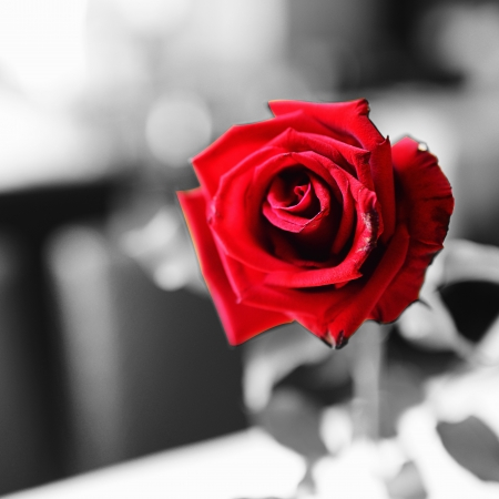Red rose on black and white background for contrast concept photo