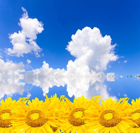 sunflowers on blue sky  photo