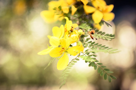yellow Flowers of Golden Shower Tree in summer  photo