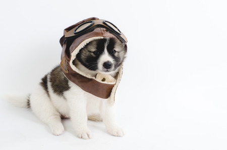 pilot helmet: Puppy with pilot helmet isolated on white.