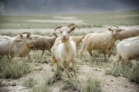 Group of goat field, Padum, Zanskar vally, India.