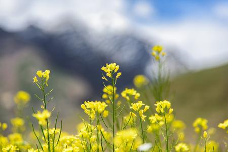 mustard field: Mustard field with mountain background, Srinagar, India. Stock Photo
