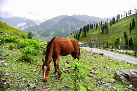 contryside: Horse eating grass at Sonamarg, Jammu Kashmir, India. Stock Photo