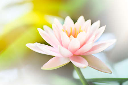 depth of field: Lotus flower with depth of field. Stock Photo