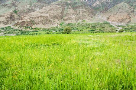 wheatfield: Wheat-field in the arid Ladakh region in India