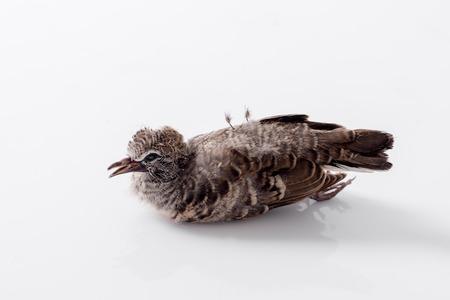 dead bird background in nature, isolated dead bird on white. Stock Photo