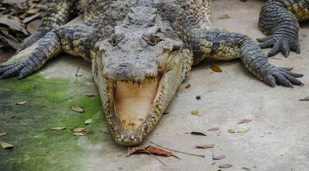 crocodile in farm of thailand