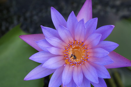 lotos: This is a pink-purple lotus. Stock Photo