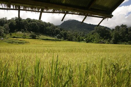 doi: Rice field, Doi Intanon, Chaingmai, Thailand