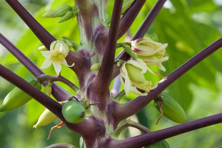 papaya flower: Papaya flower
