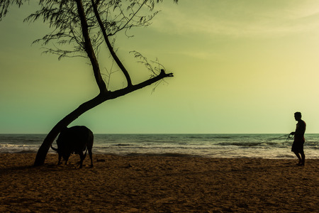opposing views: The cows walk on sand strength training of muscles. Preparation of the battle of cows and bulls are popular in southern Thailand