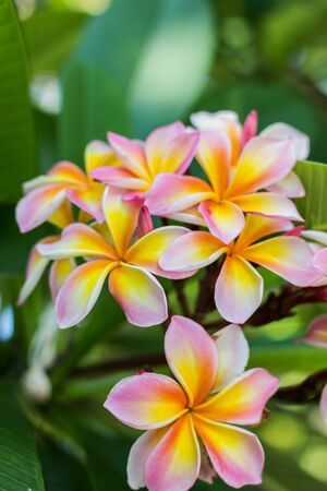 fragrant: Plumeria flowers are fragrant.