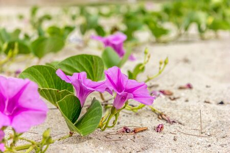 twining: Ipomoea beautiful pink flowers Stock Photo
