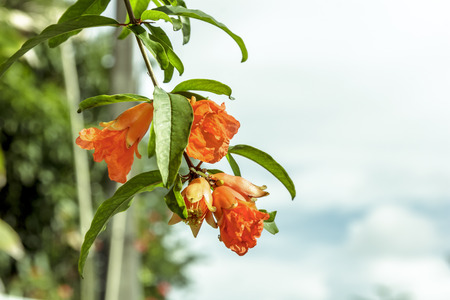 vermeil: Thailand to bring all the pomegranates. A herbal treatment Stock Photo