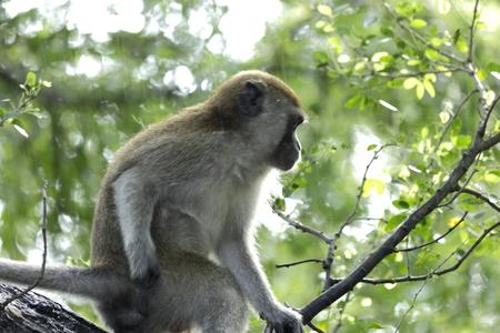 hair tuft: Monkey ignoring the rain that was falling. I am scratching Stock Photo