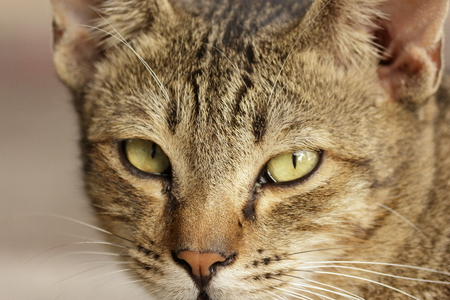 zooming: Zooming on the face of a cat with fierce eyes