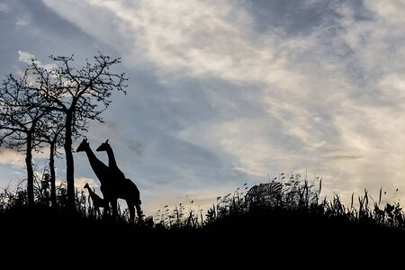 silhouette tree  giraffes  sunset with  effect