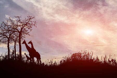 tanzania: silhouette tree  giraffes  sunset with  effect