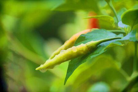 Fresh chili after getting rain water. Stock Photo