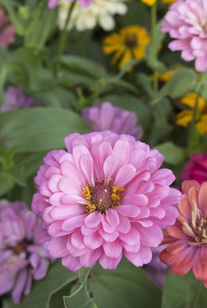 close up Deep Pink chrysanthemum in a flower garden Stock Photo