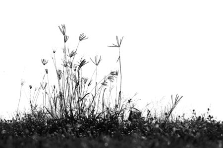 silhouette grass white background