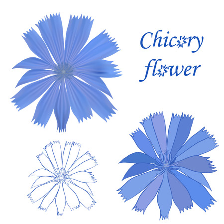 an inflorescence: Set of chicory flower isolated on white background.