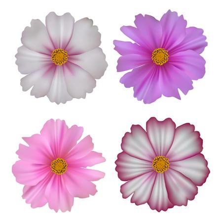 Set of cosmos flowers isolated on white background Illustration