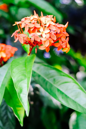 Ixora Plant Tropical Clusters of Brilliant Red Flowers Stock Photo