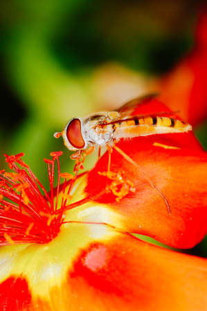 Little bee collecting polen from a red flower in garden