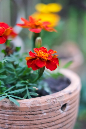 Fresh orange yellow autumn marigold flower in the clay flower pot, latin name Tagetes. Floral background