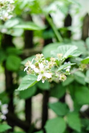 A flower of a raspberry. Flowering raspberries in the garden. Young sprout of raspberries in spring Stock Photo