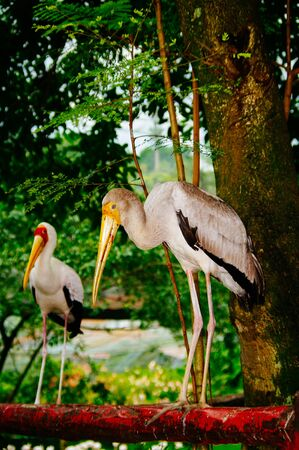 Two yellow billed storks in the woods