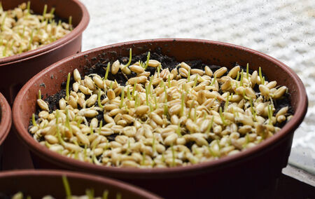 vegetate: Plant seeds germinated in pots Stock Photo
