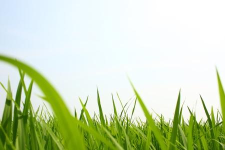 Green rice field Standard-Bild