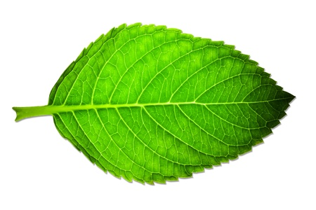leaf close up: Beautiful green leaf isolated on white