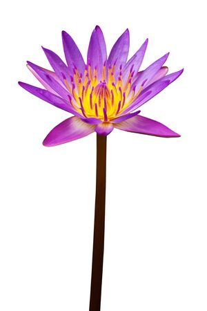 Beautiful lotus isolated on white Stock Photo