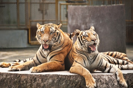 Two tigers in the zoo Stock Photo - 10994958
