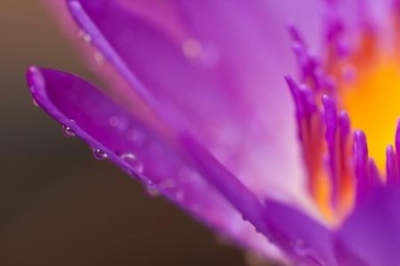 Beautiful violet lotus close up