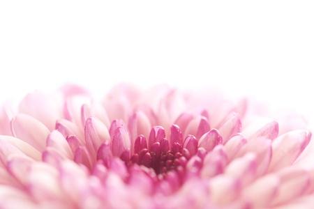 Close up of dahlia flower on white