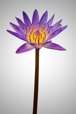 Violet lotus on gradient background photo