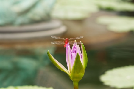 Red dragonfly on lotus photo