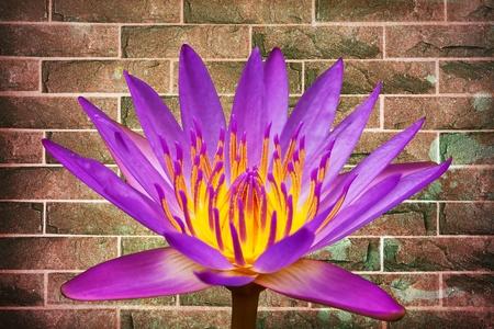 Close up lotus on brick wall background Stock Photo - 14172707