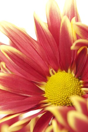Beautiful pink chrysanthemum flower photo