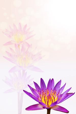Beautiful lotus photo